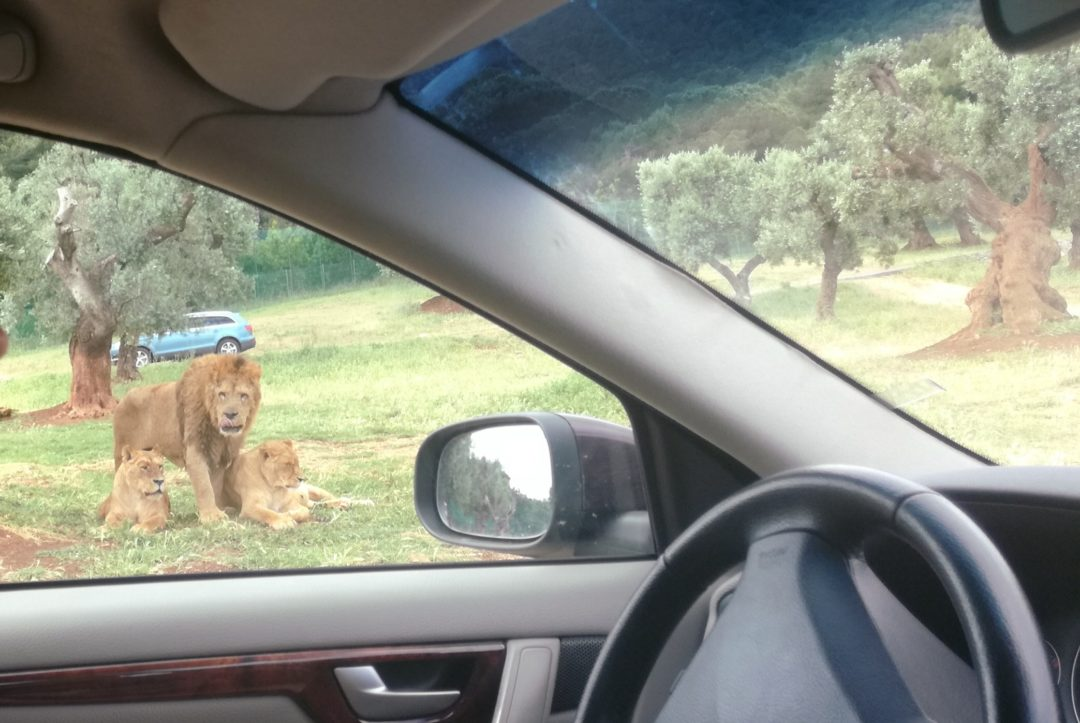 Lions relaxing on the grass while we drive by