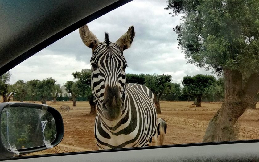 Zebra looking through the car window