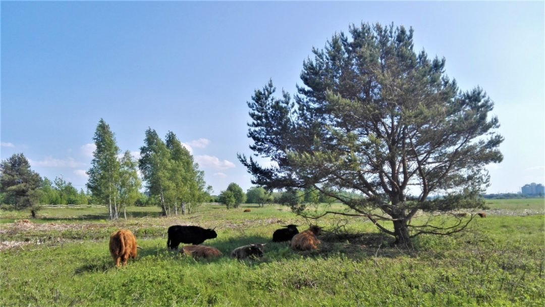 Cattle resting under a tree